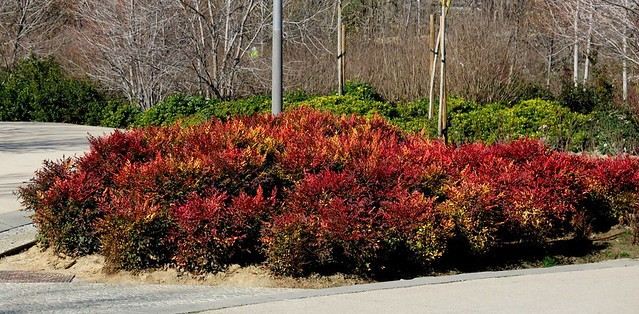 10. Cluster of Nandina in industrial streetscape