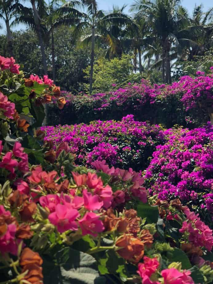 12. Colorful display of Bougainvillea bracts 1