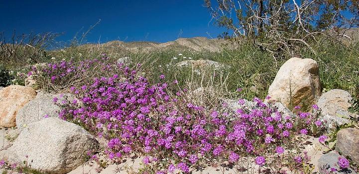 15. Smattering of colorful Desert Sand Verbena in SoCal Desert