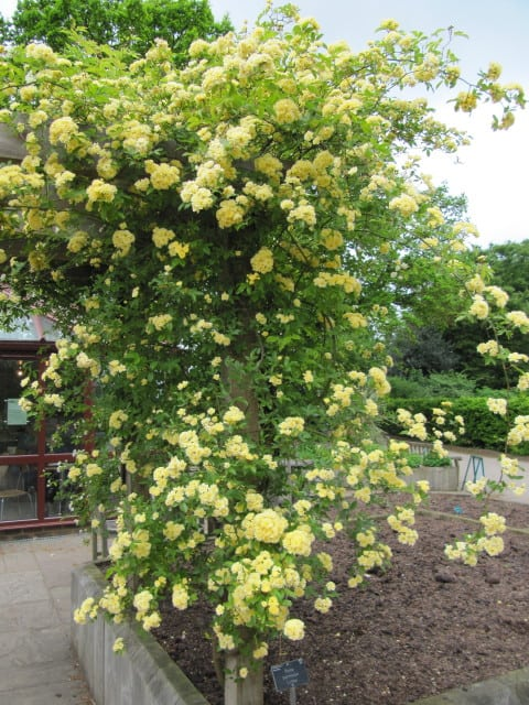 14. Yellow Lady Banks Rose climbing side of arbor