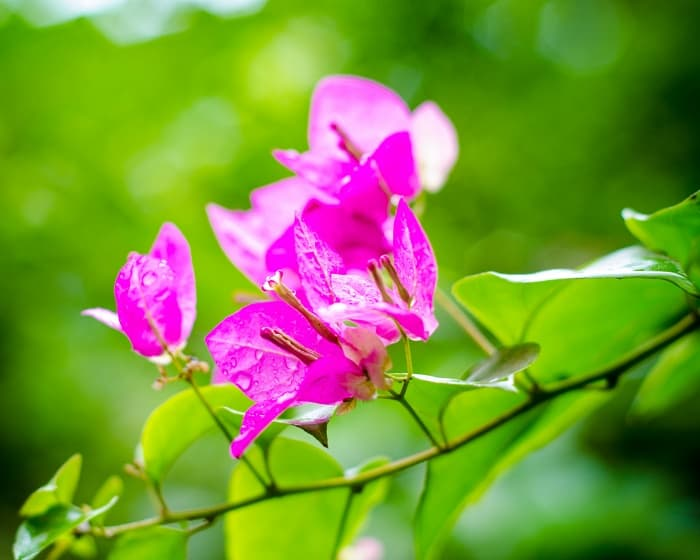 13. Close up of Bougainvillea bracts surrounding white flower