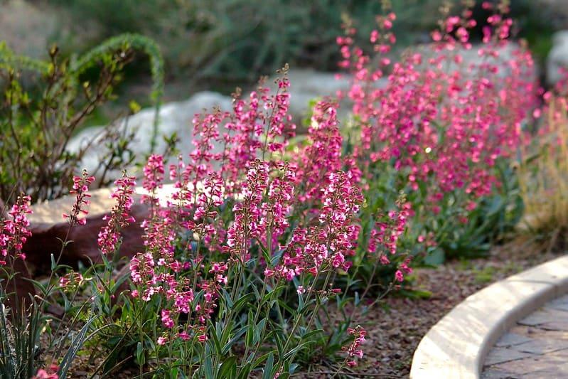 16. Pink Parry s Penstemon in bloom