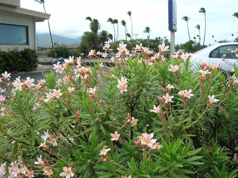 17. Petite Pink Oleander in a parking lot finger island