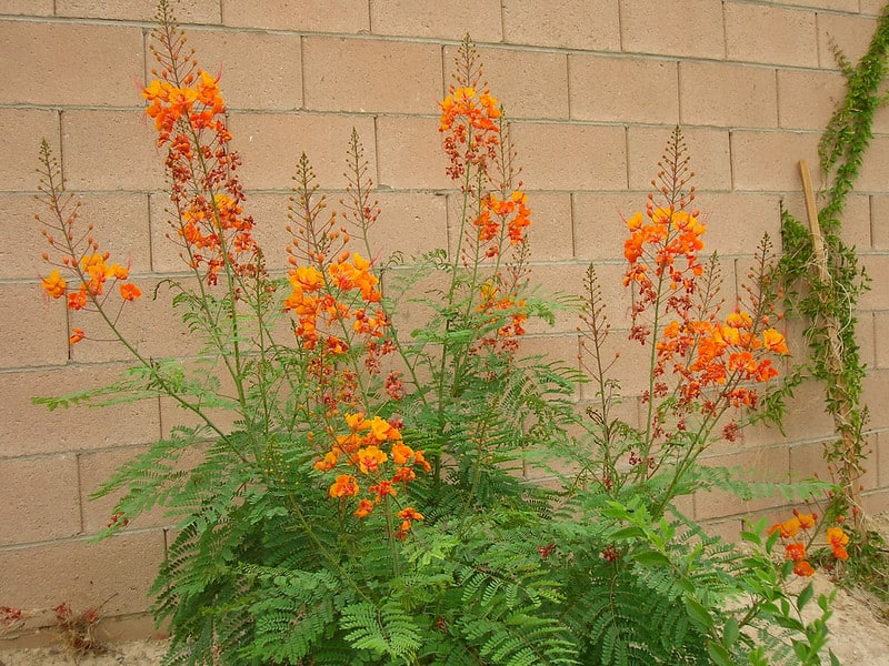 22. Mexican Bird of Paradise along property wall
