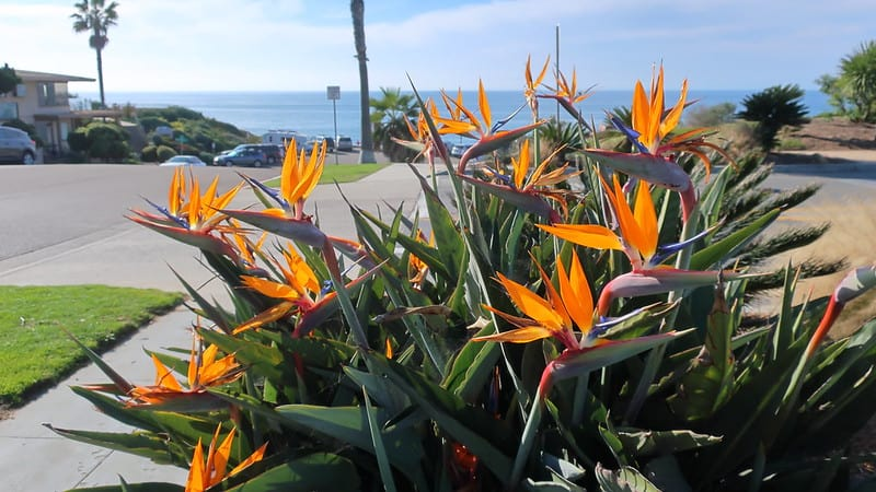 23. Trop Bird of Paradise resilient love heat and humid