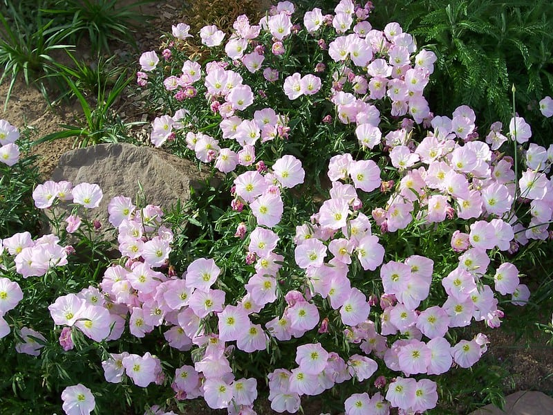 21. Mexican Evening Primrose most common in pink
