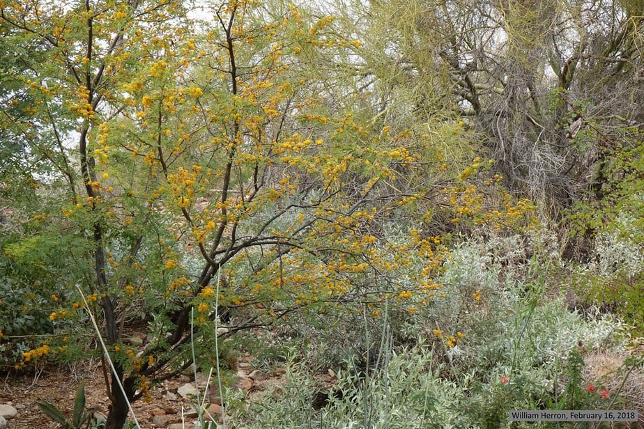 31. Sweet smelling yellow bloom of the Sweet Acacia