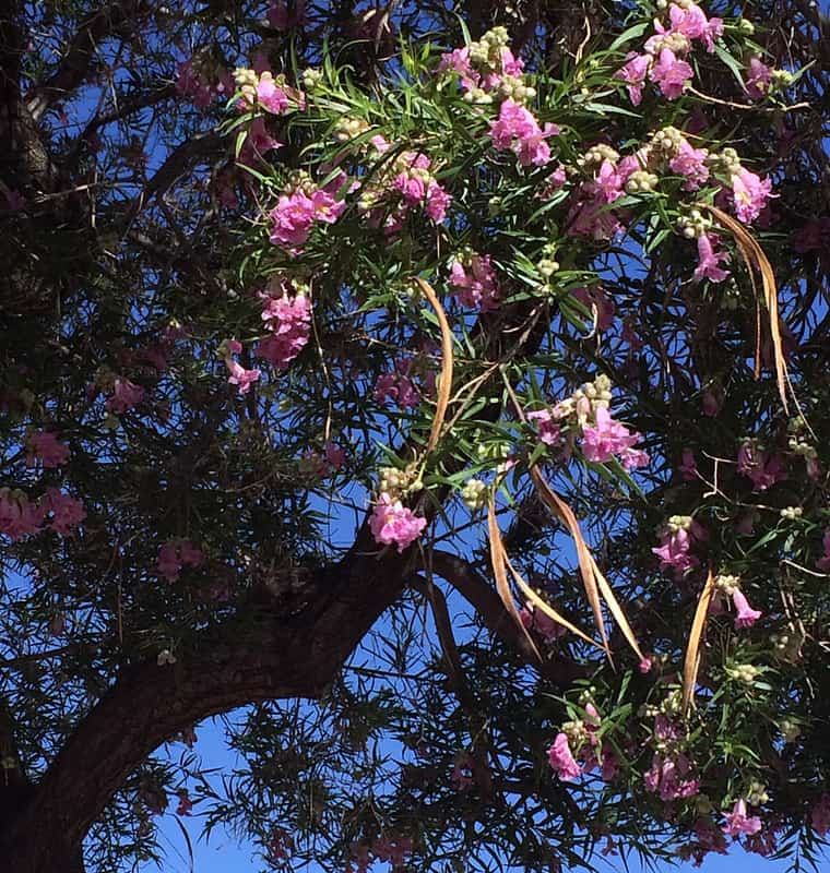 30. Looking up into canopy of Desert Willow