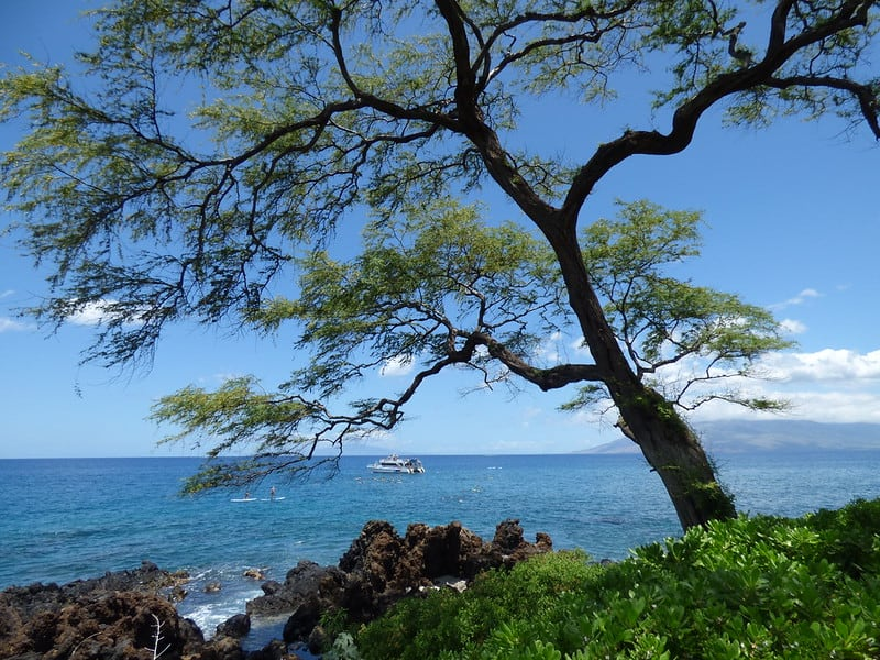 33. Prosopis pallida found in Hawaii Mesquite