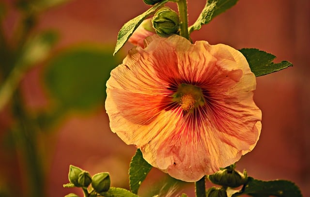2 Hollyhocks come in a range of heights and colors