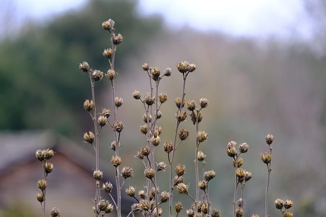 5 The easiest way to propagate hollyhocks is to allow spent flowers to go to seed