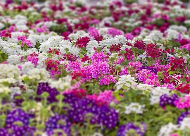 2 Purple varieties are the most common verbena cultivars