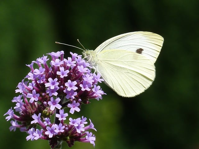 6 One of the best plants for butterflies the verbena is a reliable way to add color and interest to your garden
