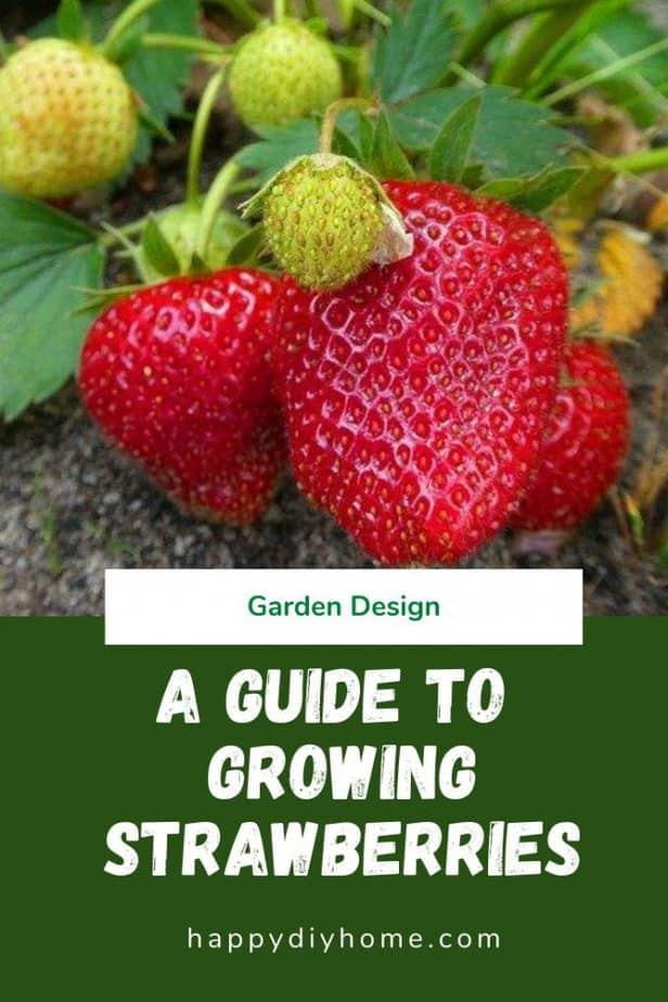 Growing Strawberries Canva 1