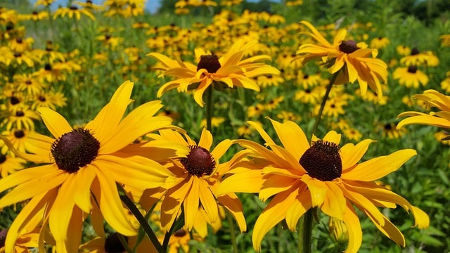 2 Black Eyed Susan