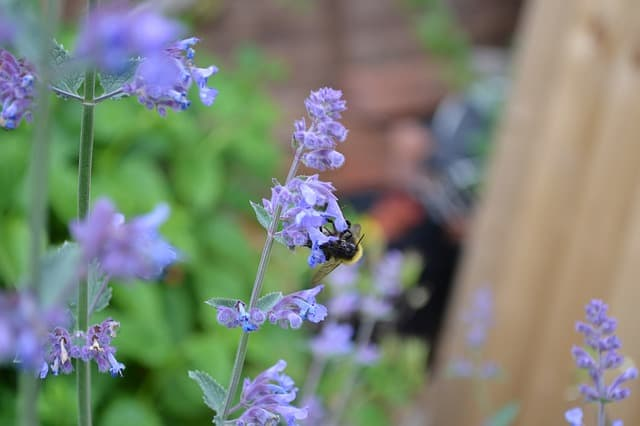 3 Catmint