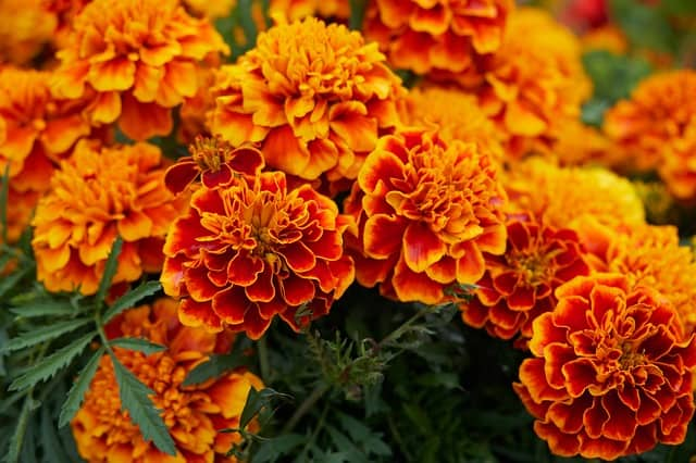 11 Marigolds
