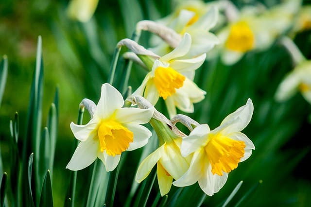 33 Daffodils