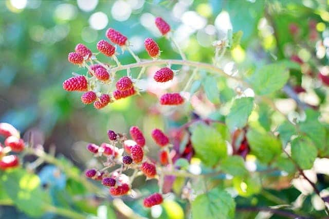5 Carefully pick fruit from the plants