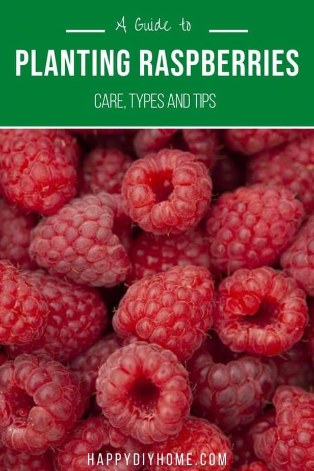 Planting Raspberries Canva 2