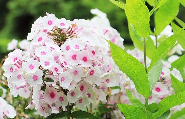 2 Phlox comes in a range of colors and sizes