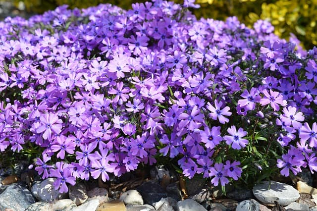 3 Creeping varieties are a great ground cover option