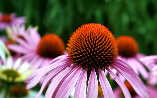 1 Purple Coneflower