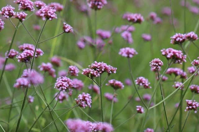 1 A delicate looking plant verbenas are a magnet for pollinators and butterflies