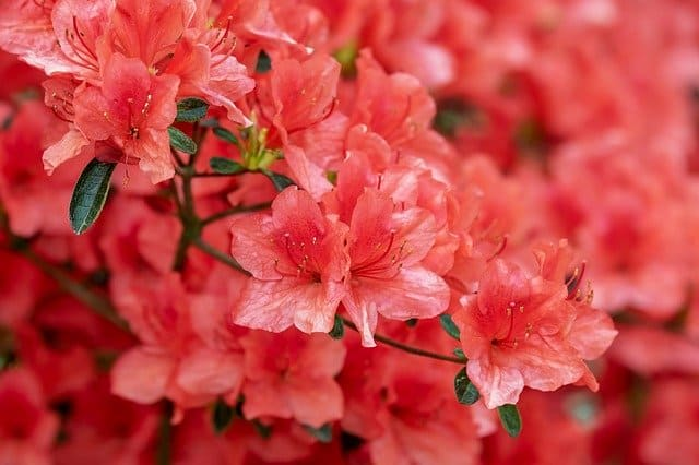 1 For many the azaleas colorful blooms are a sure sign that spring is underway