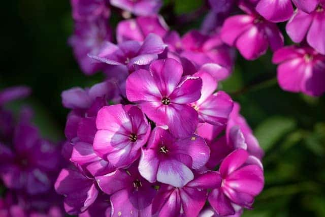 1 The colorful fragrant flower clusters add color and interest to a garden