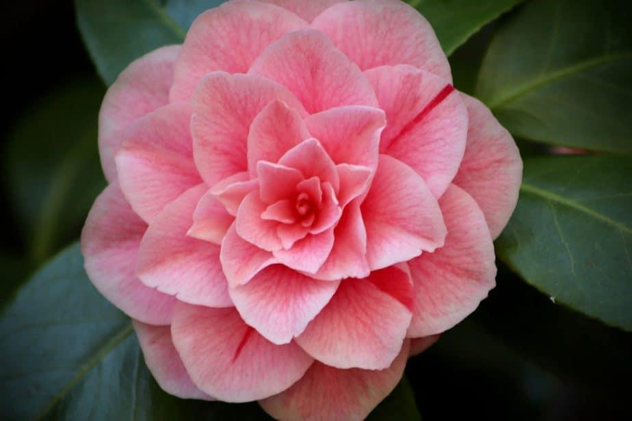 1 Pink Camellia