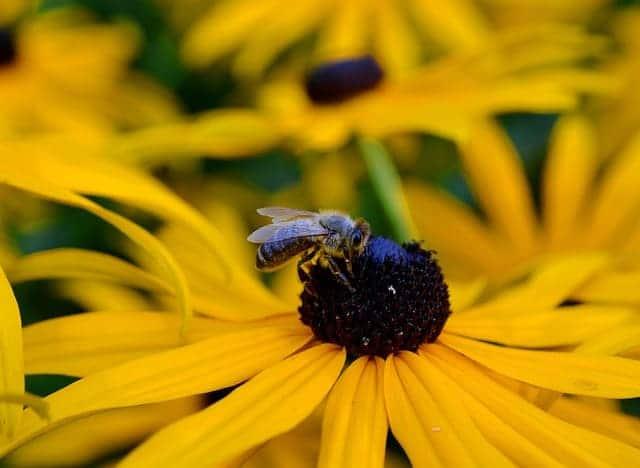 3 Bee on Rudbeckia
