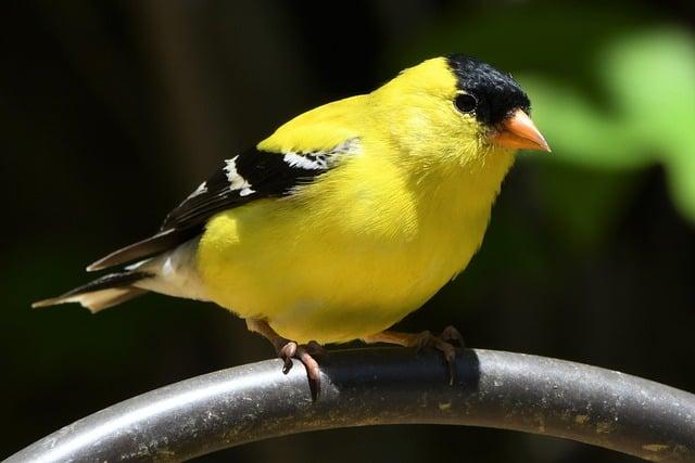 8 Goldfinch