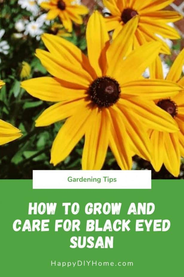 How to Grow and Care for Black Eyed Susan