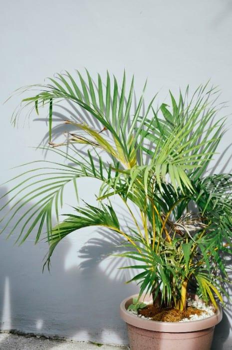 10 Majestic Palm