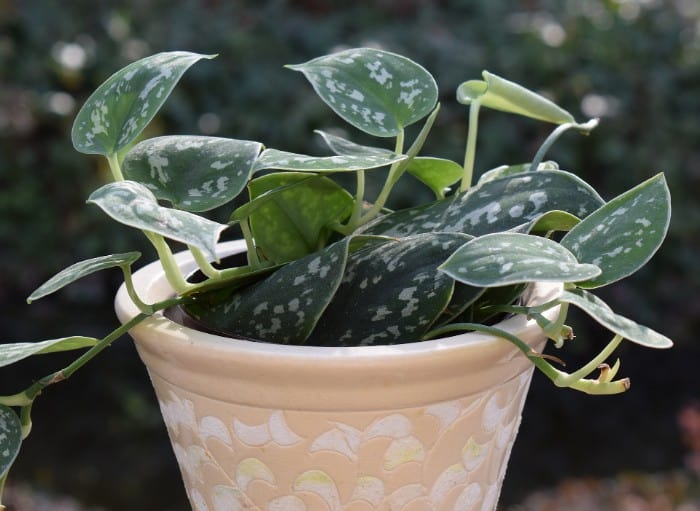 20 Philodendron