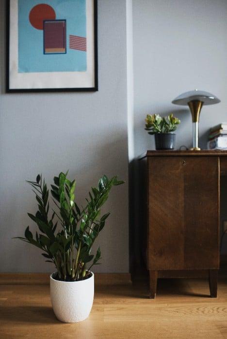 24 Zamioculcas Zamiifolia