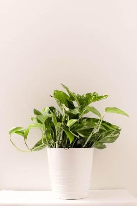 25 Chinese Evergreen