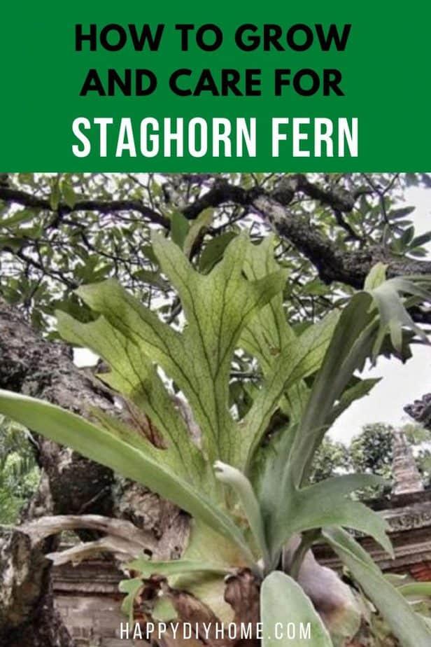 4. Growing staghorn fern