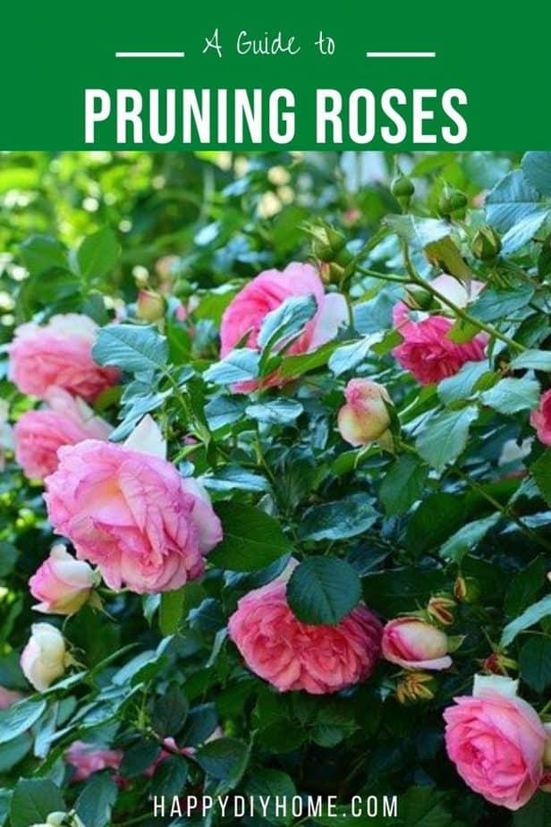 Rosen beschneiden 2