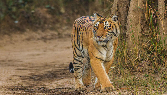 Tiger roaming in the forest