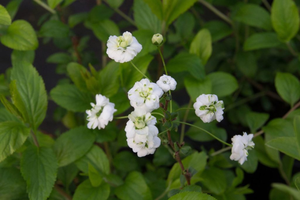 Bridal Wreath Spirea Plant Profile