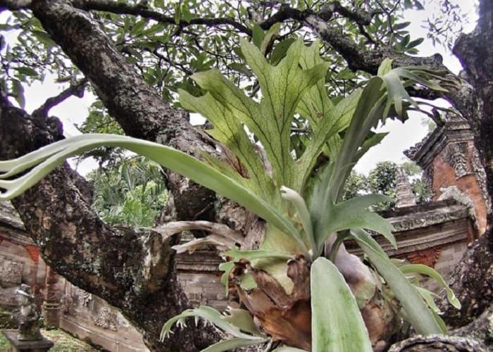 1. Growing staghorn fern