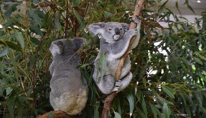 Holding a koala in the lone pine koala sanctuary