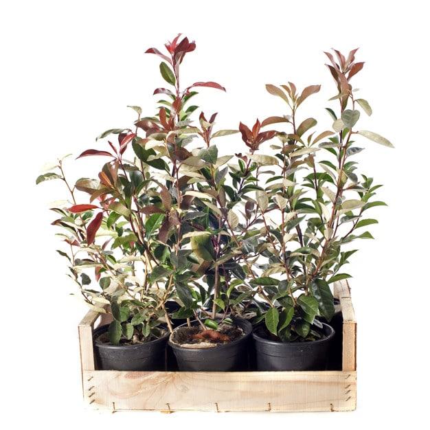 Red Tip Photinia Plant Profile