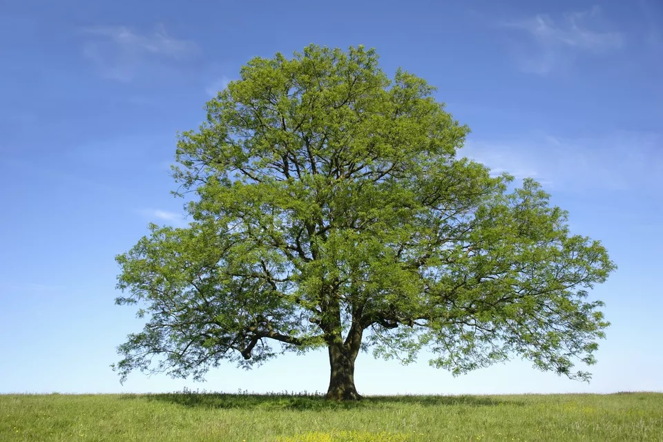 Species of Ash Trees