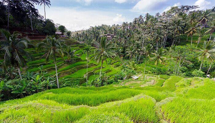 Teglang Rice Terrace
