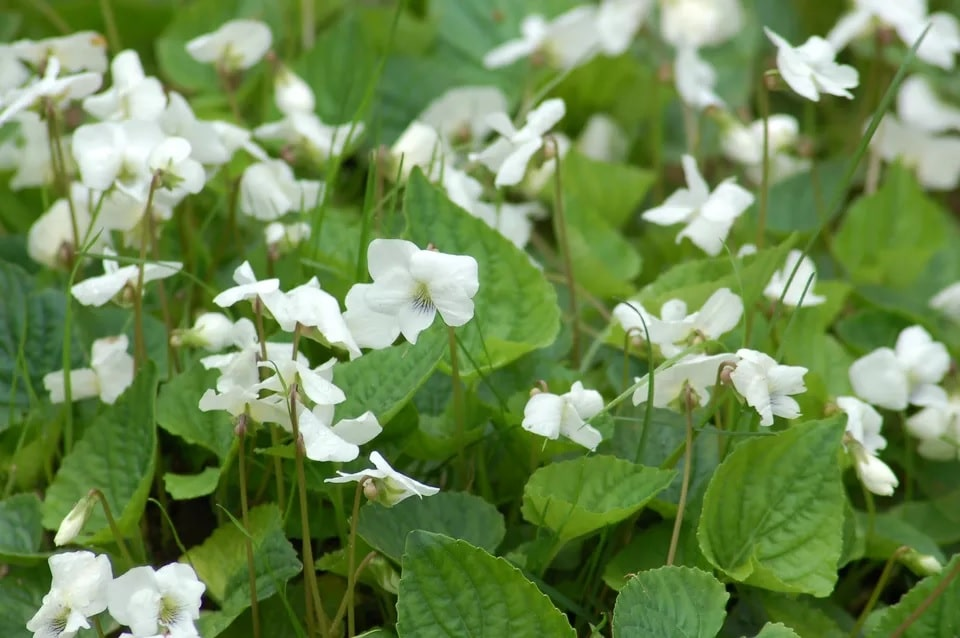 Get Rid of Wild Violets in Your Lawn