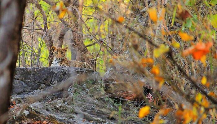 Leopard in Bandhavgarh National Park