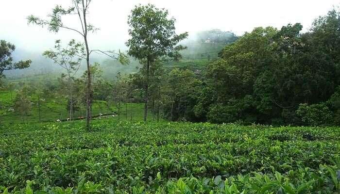 Coonoor Tea Estate: Check Beautiful Tea Estates